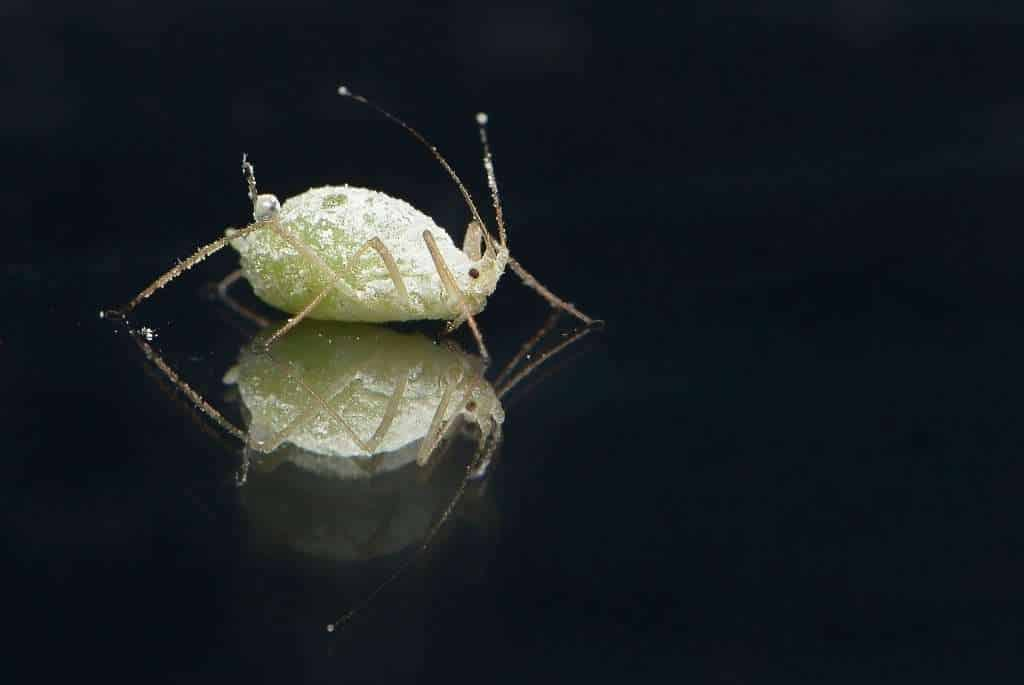 whitish colored aphid