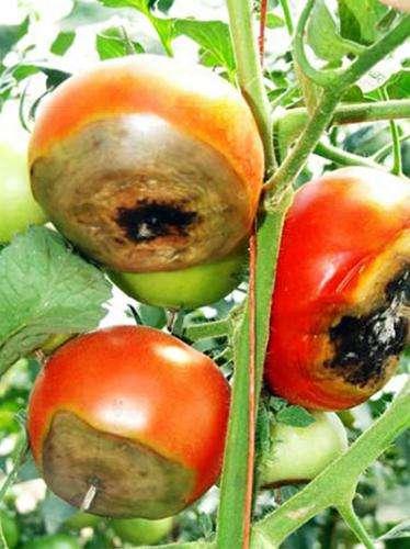 Blossom-end tomato rot