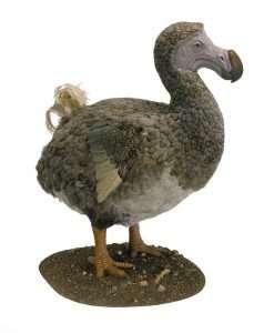Dodo is an extinct flightless bird