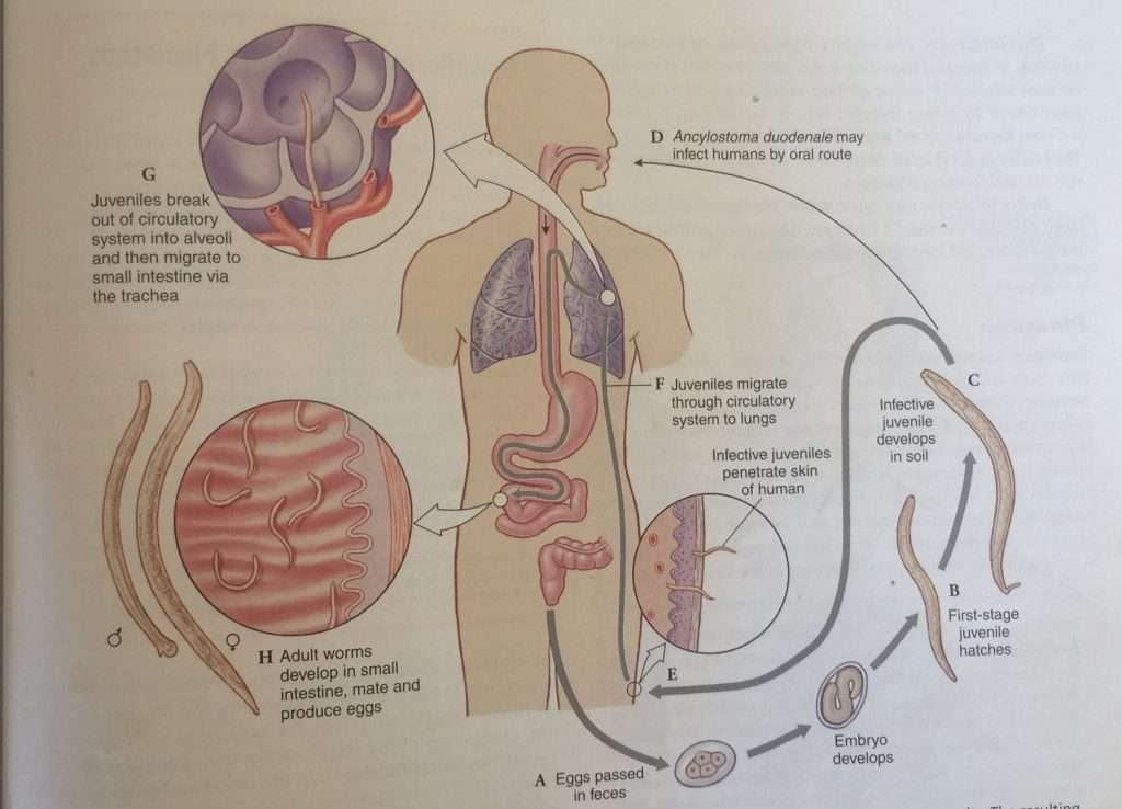 The life cycle of hookworm