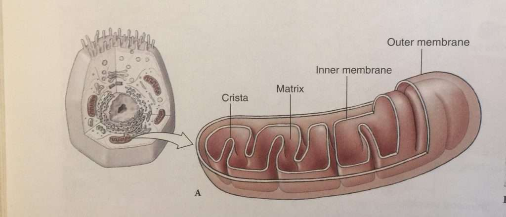 A structure of a typical mitochondria