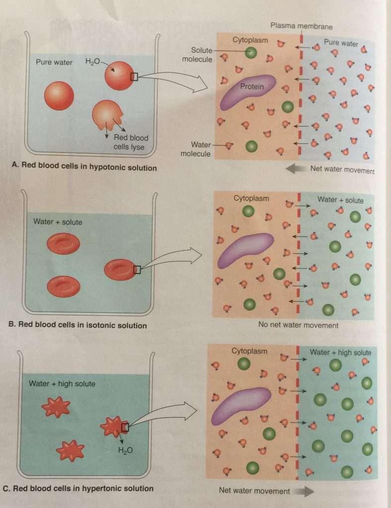 Red blood cell experiment showing the process of Osmosis