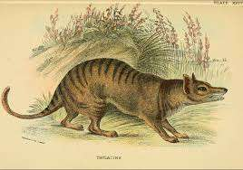 Tasmanian tiger is also among the extinct animals