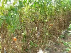 Leaf mold infection of the tomato plant with fruit