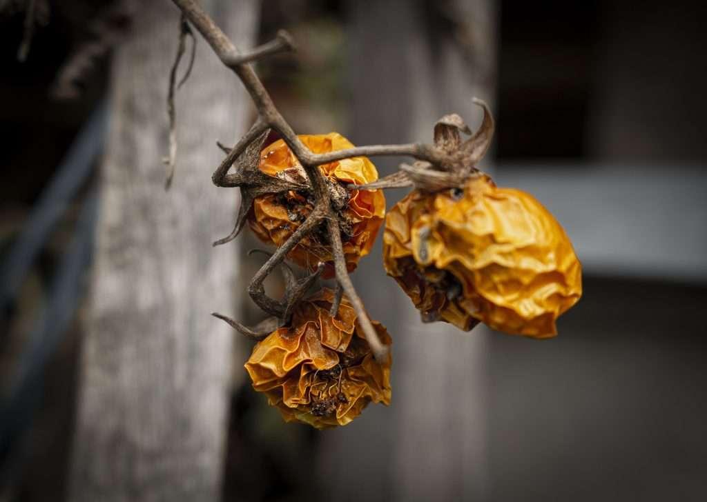 Ruined shriveled fruit from tomato rot