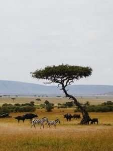 Savannah grassland ecosystem with zebras and buffalo at the Maasi Mara National Reserve Kenya