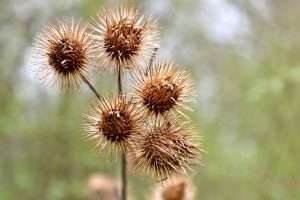 Burdock seeds attach to animal fur or human clothes as a method of dispersal