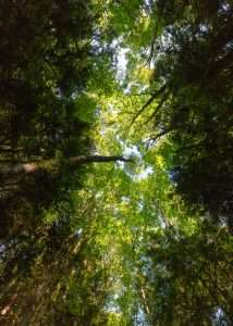 View of a forest canopy ecosystem from the ground looking up