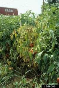 Fusarium wilt on the plants