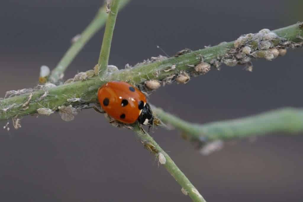 Ladybug attacking aphids on plant