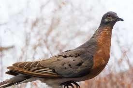 Passenger pigeons are extinct animals