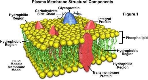Structure of a cell membrane(plasma membrane)