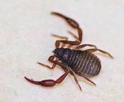 Pseudoscorpion and beetles show commensalism. Pseudoscorpions hitch a ride from beetles