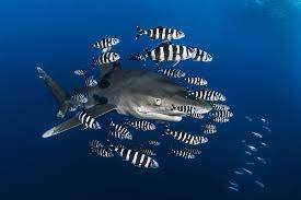 Sharks and pilotfish is a typical example of commensalism