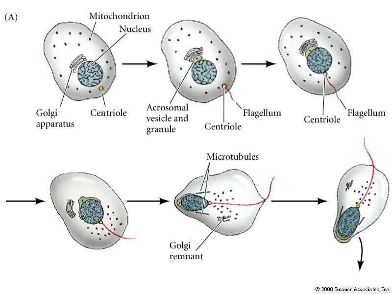 Centrioles aid sperm flagellum development and movement