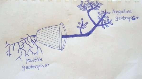A diagram showing positive geotropism and negative geotropism