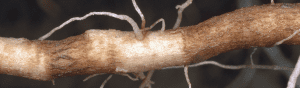 Root damage from corky root rot