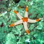 Starfish also known as sea star