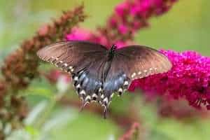 Spicebush swallowtail butterfly mimics the pipevine swallowtail butterfly