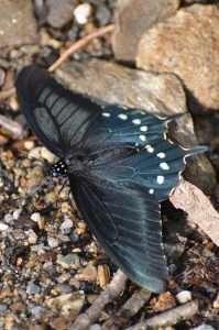 Spicebush swallowtail butterfly mimics the pipevine swallowtail butterfly is the model of mimicry for the spicebush swallowtail butterfly