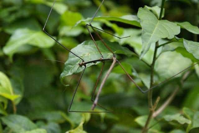 Stick insects exhibit mimicry by mimicking sticks